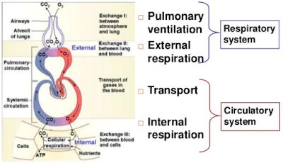 mechanism of respiration