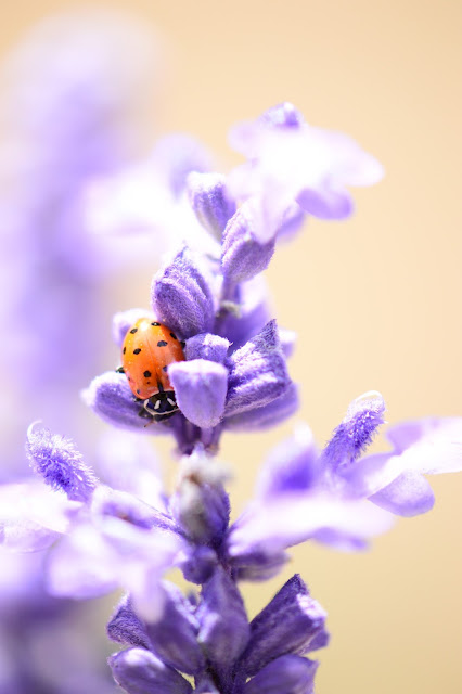 ladybug, ladybird, salvia, farinacea, blue, salvia, photography, amy myers, journal of a thousand things, desert garden, small sunny garden
