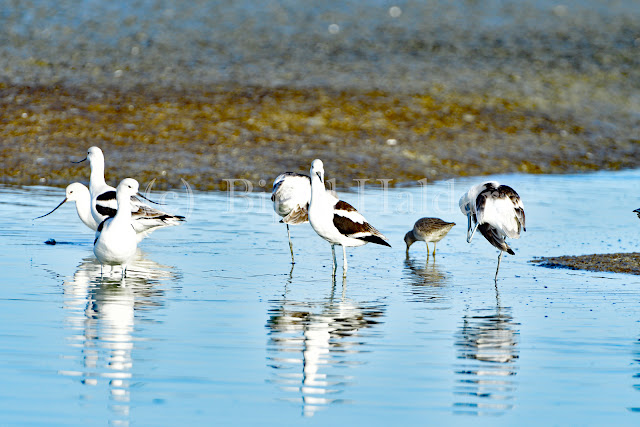 A flock of American Avocet