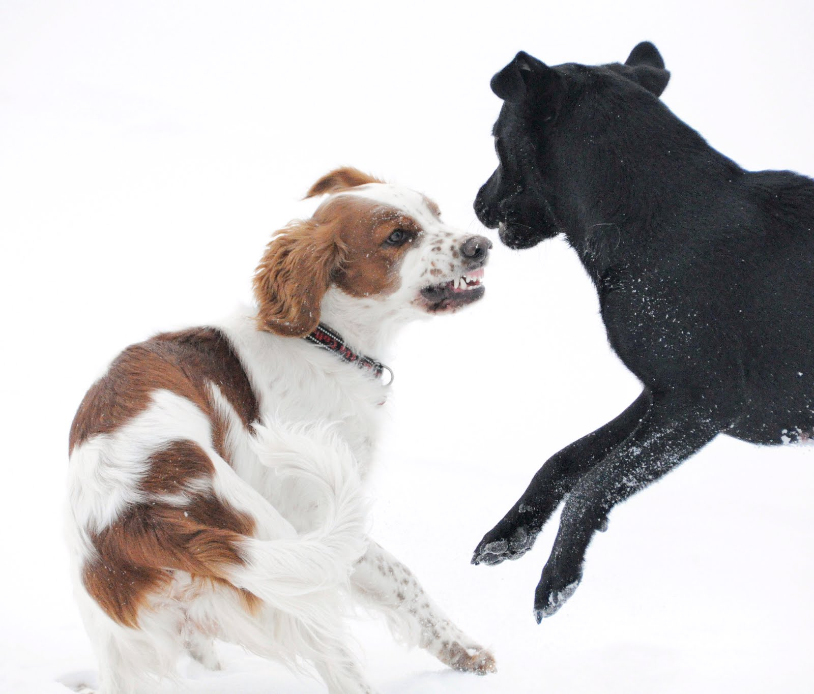 Bir köpek bir köpek tarafından ısırılırsa, ne yapmalıyım İlaçların kullanımı ve tedavi özellikleri