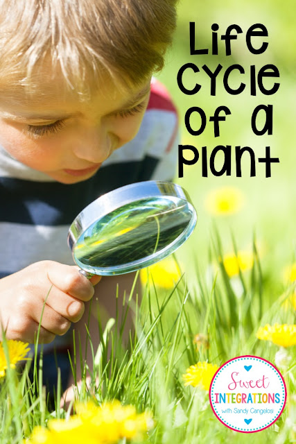 Your 1st, 2nd, 3rd, and 4th grade elementary classroom or home school students are going to love learning about the life cycle of a plant with this springtime resource. It has many engaging components they're sure to love! Help your science lesson come to life with the QR codes, video, PowerPoint, vocabulary, and nature hunt ideas included in this blog post. Any time you're teaching about life cycles, this resource will be a huge hit! {first, second, third, fourth graders}