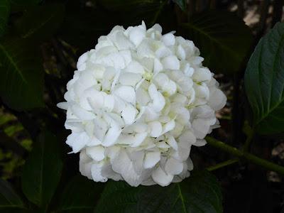 山田池公園のあじさい園 白いアジサイ