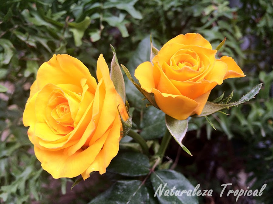 Pareja de rosas amarillas