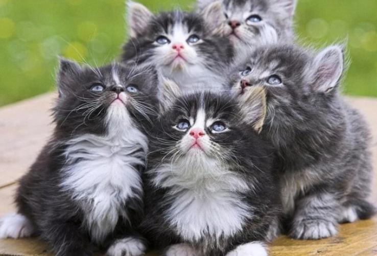 Gambar Kucing Siam Yang Comel Kucingcomel Com