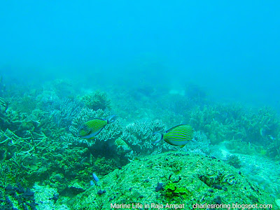 Striped surgeonfish in the house reef of Yenkawe homestay