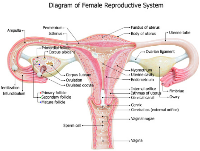 Sistem Reproduksi Wanita dan Fungsinya Sistem reproduksi pada wanita terdiri dari sepasang ovarium (indung telur), vagina, dan alat kelamin luar. Sebagian besar alat reproduksi wanita berada di rongga panggul di luar kantung rongga perut. Bagian reproduksi dari wanita yang tergolong bagian organ dalam adalah : Sepasang ovarium (indung telur) Tuba fallopi (saluran telur) Uterus (rahim) Vagina Sedangkan yang termasuk kelamin bagian luar adalah : Klitoris atau kelentik Vulva Lubang saluran kencing Lubang vagina Fundus  Ovarium (Indung Telur) Ovarium adalah organ penting dalam sistem reproduksi wanita. Ovarium berjumlah 2 buah (sepasang) kanan dan kiri. Ovarium berada di dalam rongga peritoneal dekat tulang usus. Letaknya sangat dekat dengan lubang saluran rahim, sehingga memudahkan masuknya sel telur.  Ovarium berfungsi untuk memproduksi ovum (sel telur). Ovarium mengandung sekitar 400 ribu calon sel telur. Selain memproduksi ovum (sel telur), ovarium juga menghasilkan hormon estrogen dan progresteron.  Saluran Telur Saluran telur bertugas menyalurkan ovum (sel telur) ke rahim dengan gerakan peristaltik. Proses ini dibantu oleh gerakan silia yang berada di dinding. Panjang saluran ini sekitar 12 cm dan ujungnya berbentuk corong.  Uterus (Rahim) Rahim terletak di belakang tulang kemaluan dan di tengah-tengahnya terdapat kantung kencing. Rahim terdiri atas bedan rahim (corpus), fundus, saluran rahim, serta leher rahim. Pada kondisi normal, rahim berukuran sebesar telur.  Panjangnya sekitar 7,5 cm dan lebarnya 5 cm. Rahim berfungsi sebagai tempat berkembangnya embrio. Selama masa kehamilan, rahim dapat berkembang sampai 500 kali dari semula. Rahim dilapisi selaput yang disebut endometrium.  Vagina Vagina merupakan tempat masuknya penis pada saat kopulasi (ketika melalukan hubungan seksual dengan pasangannya). Selain itu, juga sebagai jalan keluarnya bayi ketika proses melahirkan. Vagina terletak di bawah rahim, dan di depannya terdapat kantung kencing.  Panjang vagina ber