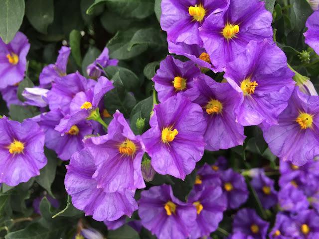 violette Sommerblüten