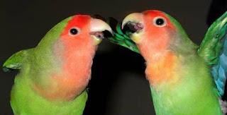 Burung Lovebird - Permasalahan Burung Lovebird yang Tidak Mua Jodoh dan Cara Menanganinya - Penangkaran Burung Lovebird