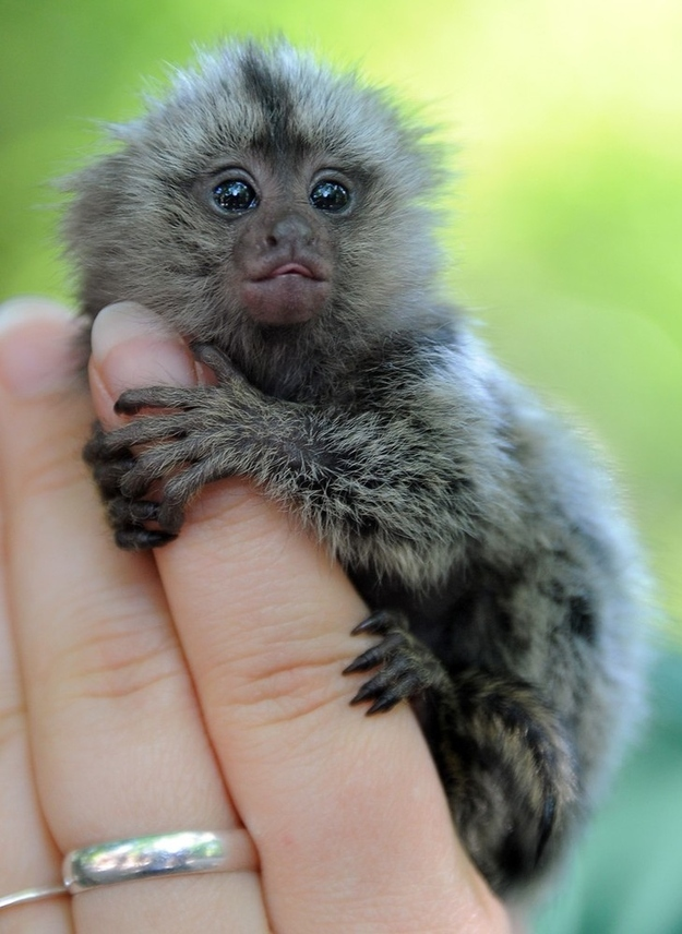 Cute baby marmoset being raised in Germany (7 pics ...