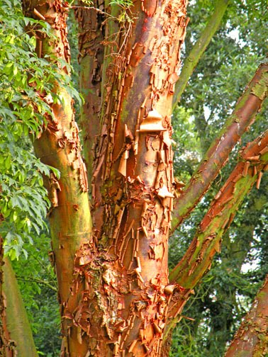 Image result for tree shedding bark