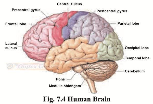 Chapter 7 - Nervous System Balbharati solutions for Psychology 11th Standard Maharashtra State Board