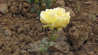 Rose Flower in National Rose Garden Delhi 2082