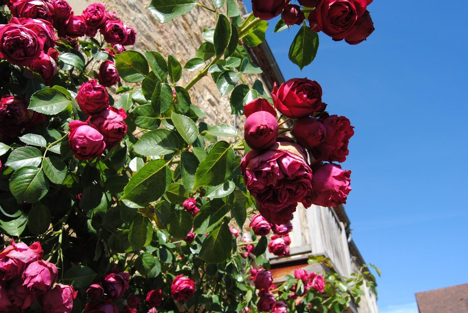 Roses in Beynac
