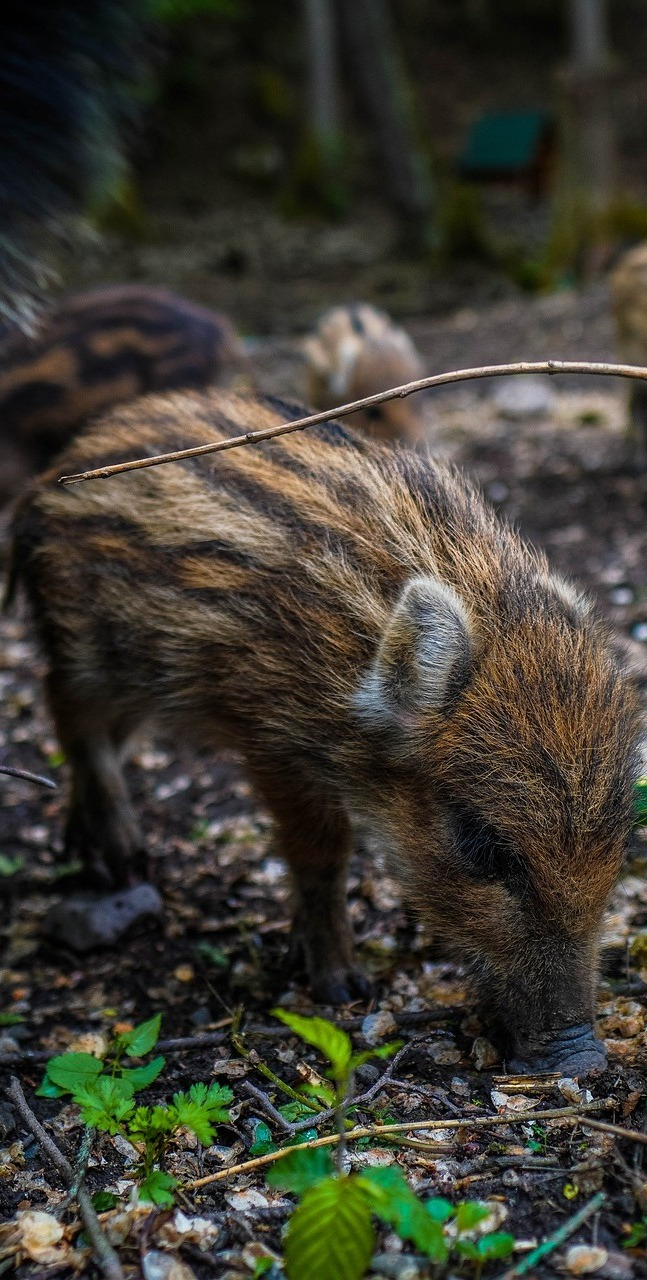 Cute young wild boar.