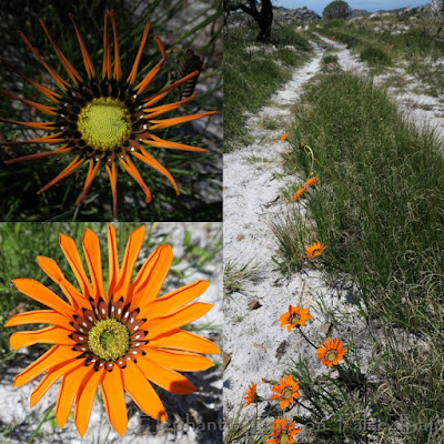 Middelmannetjie at Brooklands with Gazania pectinata