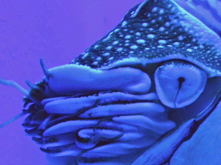 A nautilus at Manila Ocean Park's oceanarium