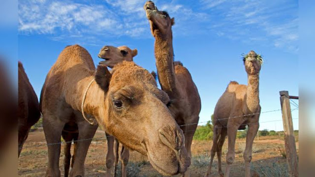 CAMEL IN AUSTRALIA CAMEL IN AUSTRALIA CAMEL IN AUSTRALIA CAMEL IN AUSTRALIA