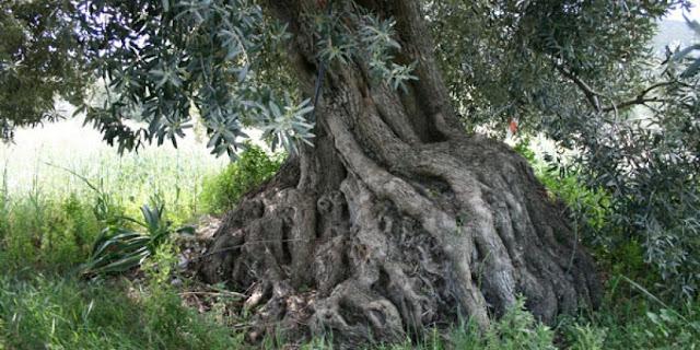Οι αιωνόβιες ελιές της Δήμαινας στην Αργολίδα