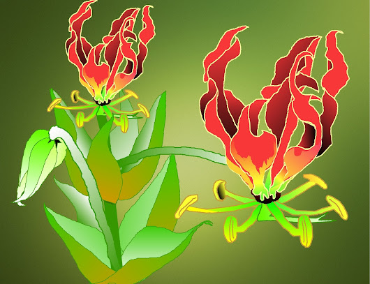 Gloriosa superba -- Flame Lily