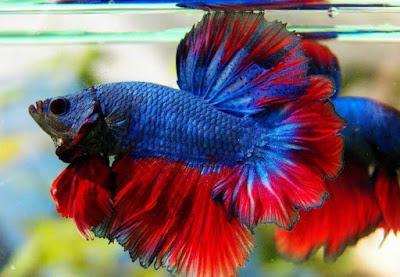 Ikan Cupang Rosetail Halfmoon