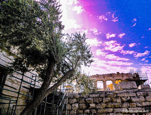 Oliveira sagrada da deusa Palas Atena, na Acrópole de Atenas