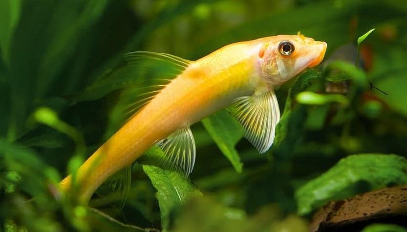 Golden Chinese Algae Eater, Ikan Hias Pemakan Lumut -