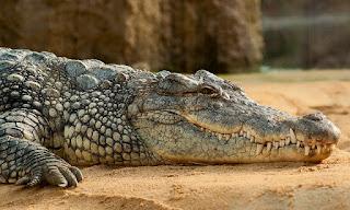 Alligators are carnivores