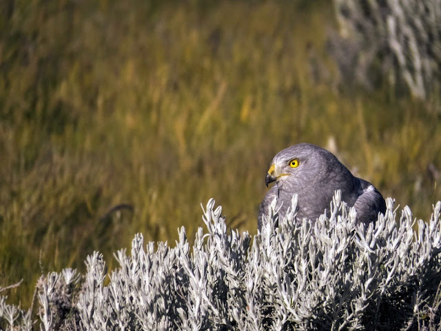 Birds of Patagonia: Cinereous Harrier in El Calafate Argentina