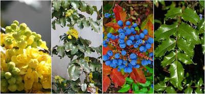 Mahonia_aquifolium_permaculture_polycult
