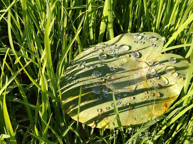 Early morning dew on leaf