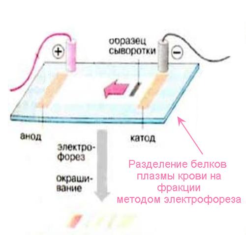разделение белков плазмы на фракции методом электрофореза