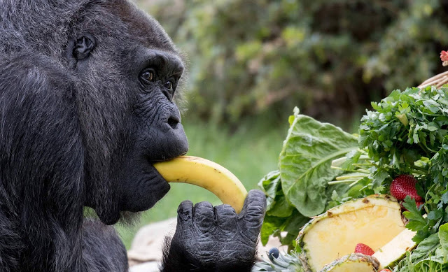 World's oldest gorilla marks 60th birthday