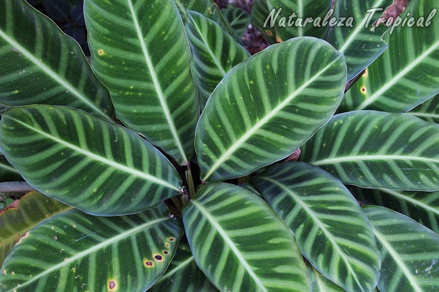 Hojas de una especie de Calatea, Calathea zebrina