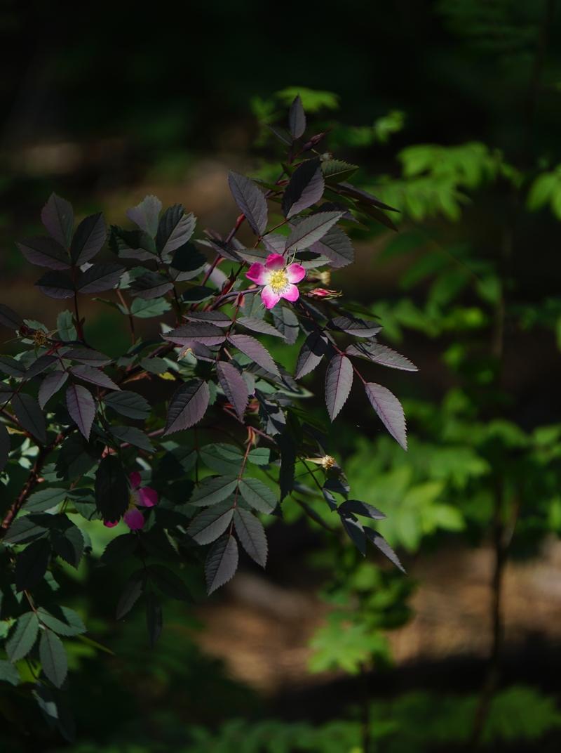 ruusu, kukka