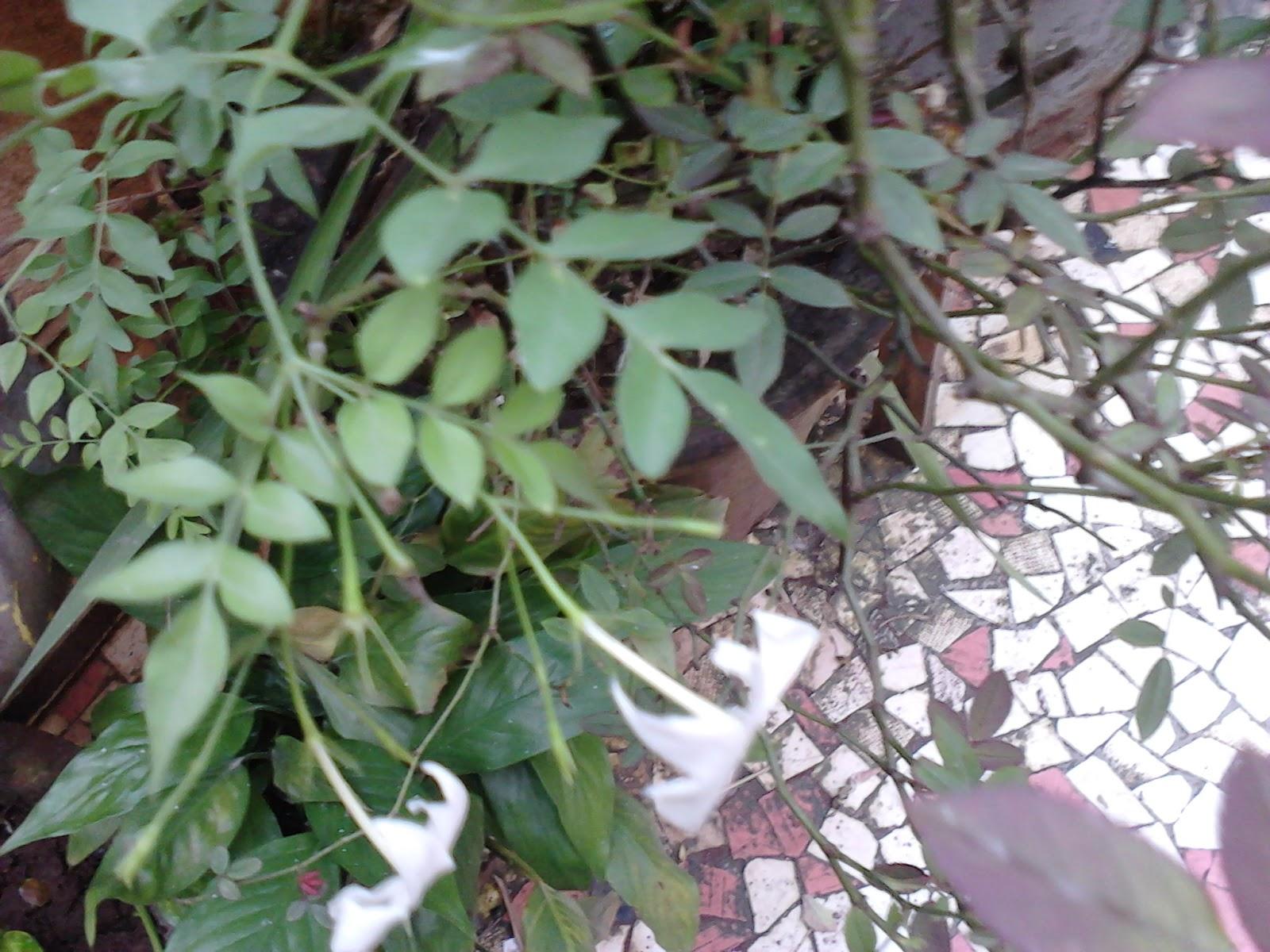 Garden Care Simplified Healthy Growth Tips For Jasmine Jai Juhi
