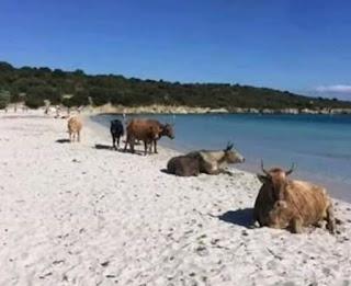 smiješna slika, krave leže na plaži u ulcinju umjesto turista