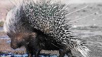Porcupine pictures_Hystrix cristata