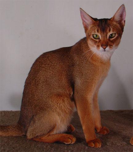 adopt a pet  Melhores Raças de Gatos para sua Família