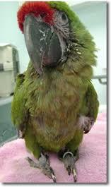 veterinaria online dilatacion de proventriculo aviar