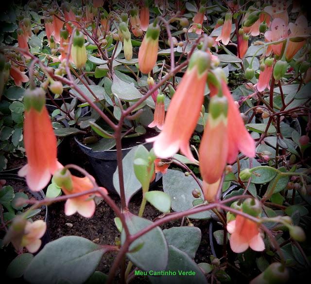Flower Bryophyllum  manginii