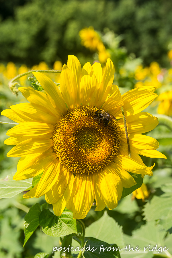 The stuff that dreams are made of - bumble bees and sunflowers.