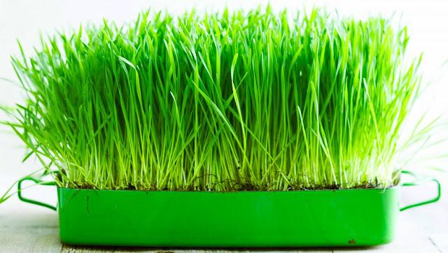 Cara Mudah Budidaya Tanaman Hidroponik Wheat Grass