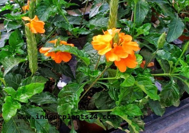 Crossandra Infundibuliformis plant image potted