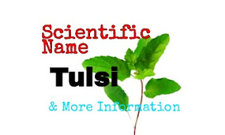 Scientific Name Of Tulsi