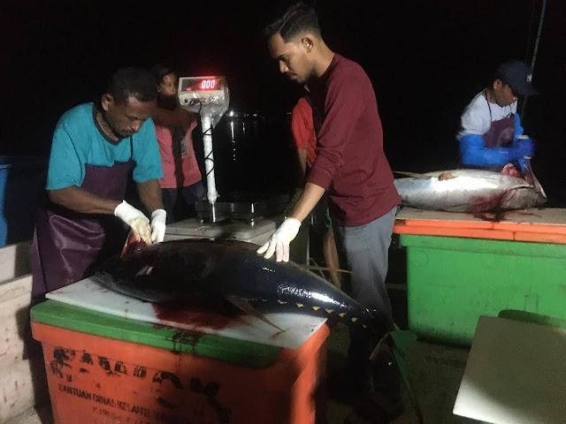 Penanganan ikan tuna segar
