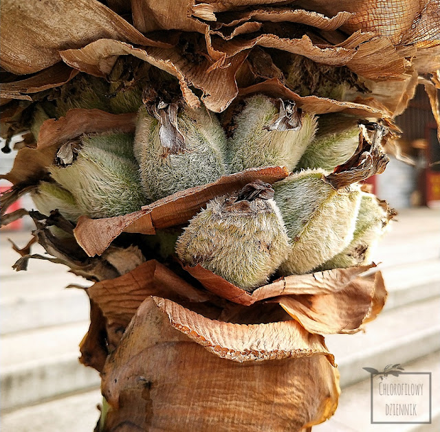 Musella lasiocarpa (Ensete lasiocarpum), czyli Chiński Bananowiec Karłowaty, inaczej Złoty Lotos - historia, pochodzienie, opis, uprawa, pielęgnacja, podlewanie i rozmnażnie. Nie wiesz jak zająć się swoim bananowcem? Tu znajdziesz odpowiedź!