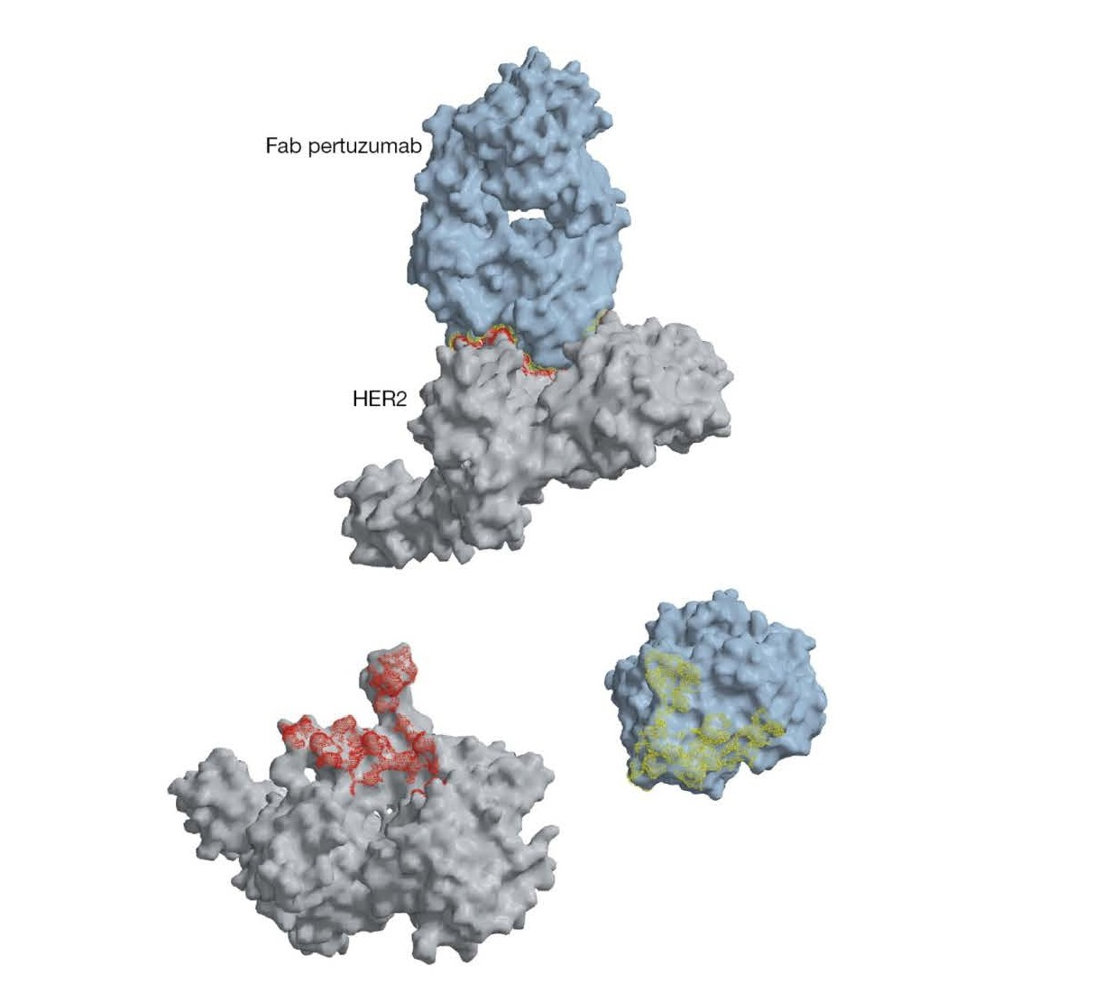 Complementarity of the antibody combining site and the epitope recognized on the antigen