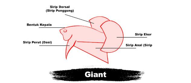 Kriteria Penilaian Kontes Ikan Cupang Giant