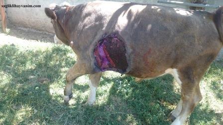 Büyükbaş Hayvanlarda Görülen Yanıkara Hastalığı