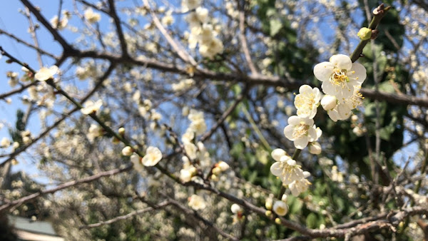 梨山獅頭山櫻花盛開 參山處:來趟賞花祈福之旅
